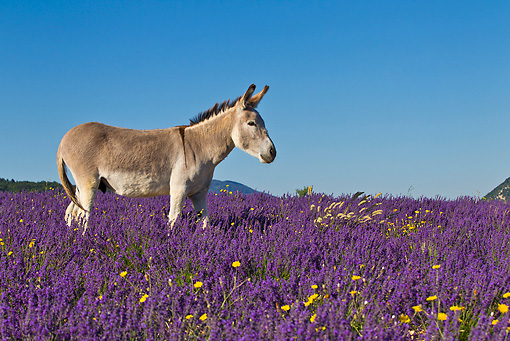 MAM 14 KH0315 01 © Kimball Stock Common Donkey Grazing In Meadow Of Lavender France