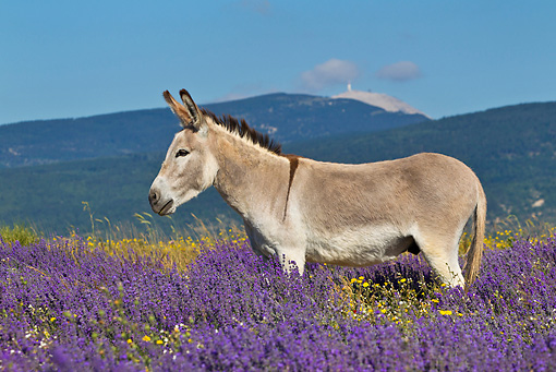 MAM 14 KH0316 01 © Kimball Stock Common Donkey Grazing In Meadow Of Lavender By Mont Ventoux, France