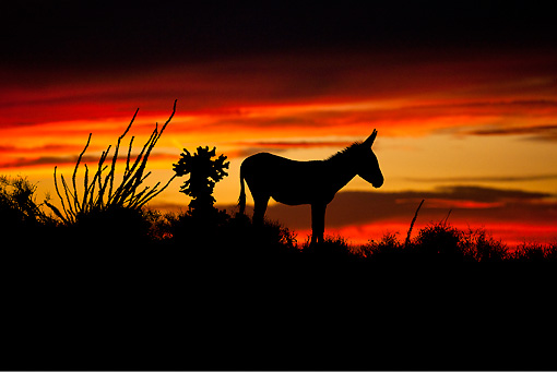 MAM 14 KH0327 01 © Kimball Stock Silhouette Of Wild Burro Standing Near Cacti At Sunset In Mojave Desert, Arizona