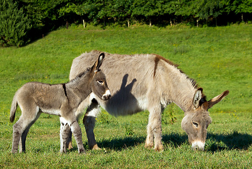 MAM 14 KH0337 01 © Kimball Stock Contentin Donkey And Colt Grazing In Pasture France