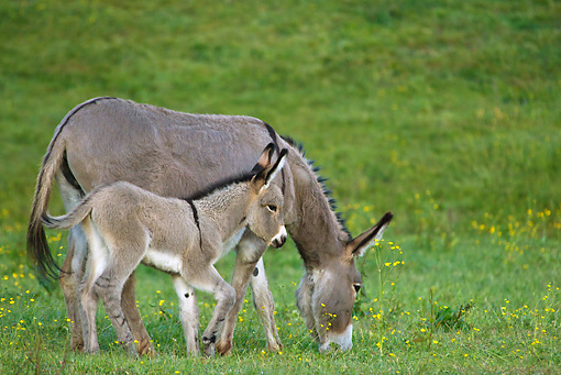 MAM 14 KH0338 01 © Kimball Stock Contentin Donkey And Foal Grazing In Field Of Buttercups France