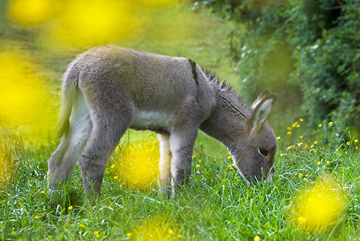 MAM 14 KH0339 01 © Kimball Stock Contentin Foal Grazing In Field Of Buttercups France