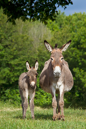 MAM 14 KH0343 01 © Kimball Stock Contentin Donkey And Foal Standing In Pasture France
