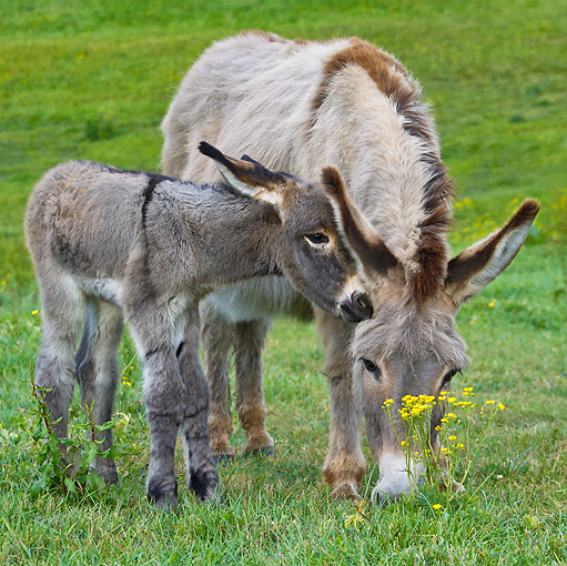 MAM 14 KH0344 01 © Kimball Stock Contentin Donkey And Newborn Foal Standing In Pasture France