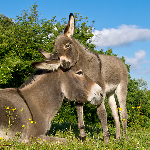 MAM 14 KH0345 01 © Kimball Stock Contentin Donkey Foal Nuzzling Mother In Pasture France