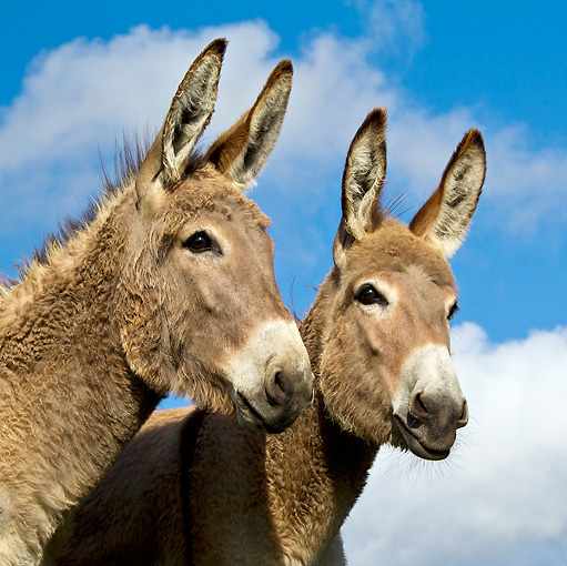 MAM 14 KH0347 01 © Kimball Stock Portrait Of Two Young Contentin Donkeys In Pasture France