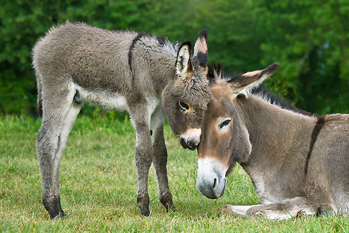 MAM 14 KH0348 01 © Kimball Stock Contentin Donkey Foal Nuzzling Mother In Pasture France