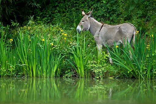 MAM 14 KH0353 01 © Kimball Stock Contentin Donkey Eating Along Bank Of Pond France