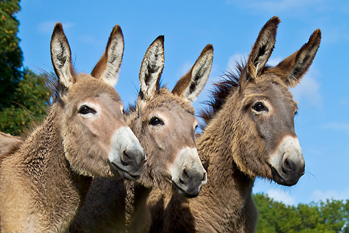 MAM 14 KH0354 01 © Kimball Stock Portrait Of Three Contentin Donkeys In Pasture France