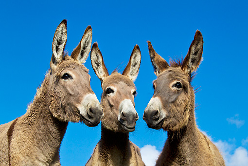MAM 14 KH0355 01 © Kimball Stock Portrait Of Three Contentin Donkeys In Pasture France