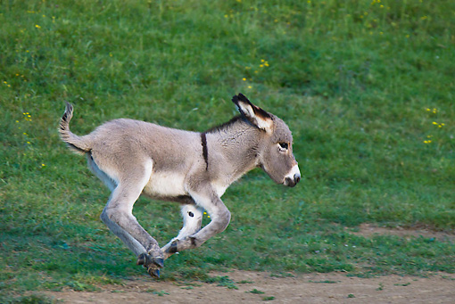 MAM 14 KH0357 01 © Kimball Stock Contentin Donkey Foal Galloping Through Pasture France