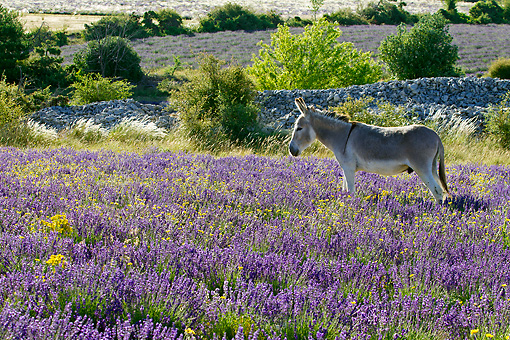 MAM 14 KH0360 01 © Kimball Stock Donkey Grazing In Field Of Lavender By Mound Of Stones In Provence, France