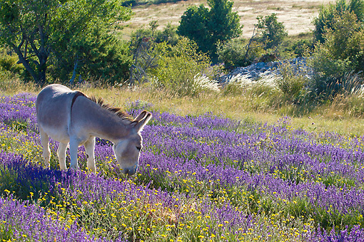 MAM 14 KH0361 01 © Kimball Stock Donkey Grazing In Field Of Lavender In Provence, France