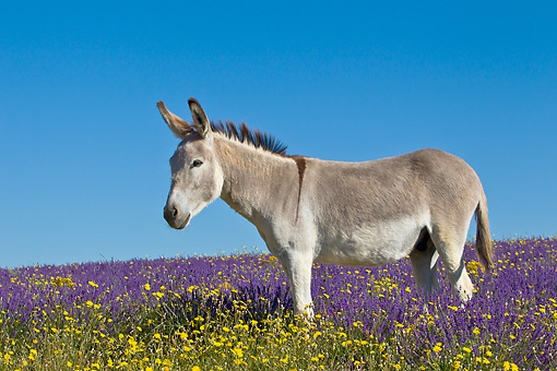 MAM 14 KH0362 01 © Kimball Stock Donkey Grazing In Field Of Lavender In Provence, France