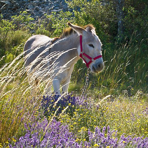 MAM 14 KH0363 01 © Kimball Stock Donkey With Halter Standing In Field Of Lavender In Provence, France