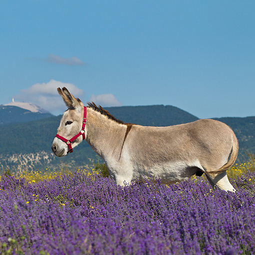 MAM 14 KH0364 01 © Kimball Stock Donkey With Halter Standing Lavender Field With Mont Ventoux In Background In Provence, France