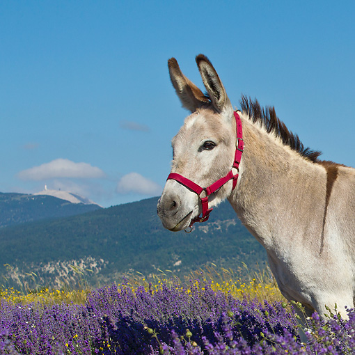 MAM 14 KH0365 01 © Kimball Stock Donkey With Halter Standing Lavender Field With Mont Ventoux In Background In Provence, France