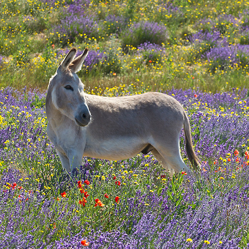 MAM 14 KH0366 01 © Kimball Stock Donkey Standing In Field Of Lavender And Poppies In Provence, France