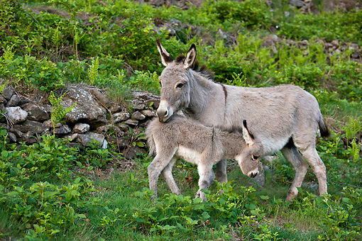 MAM 14 KH0368 01 © Kimball Stock Donkey And Foal Grazing In Fern Covered Terrace France