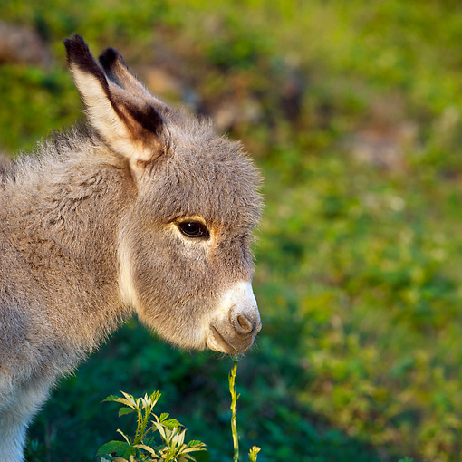 MAM 14 KH0370 01 © Kimball Stock Head Shot Of Sardinian Donkey Foal In Meadow France