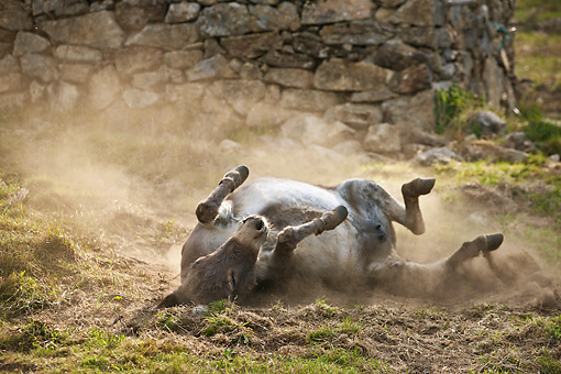 MAM 14 KH0371 01 © Kimball Stock Sardinian Donkey Rolling In Dust France