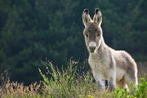 MAM 14 KH0372 01 © Kimball Stock Sardinian Donkey Foal Standing In Meadow France