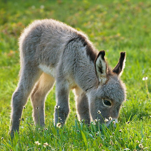 MAM 14 KH0373 01 © Kimball Stock Sardinian Donkey Foal Eating In Meadow France