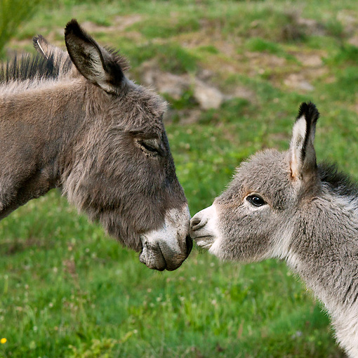MAM 14 KH0374 01 © Kimball Stock Portrait Of Sardinian Donkey And Foal Standing Nose To Nose France
