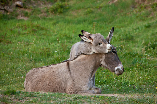 MAM 14 KH0375 01 © Kimball Stock Sardinian Donkey Foal Playing With Mother On Grass France