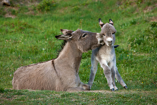MAM 14 KH0376 01 © Kimball Stock Sardinian Donkey Nuzzling Foal On Grass France