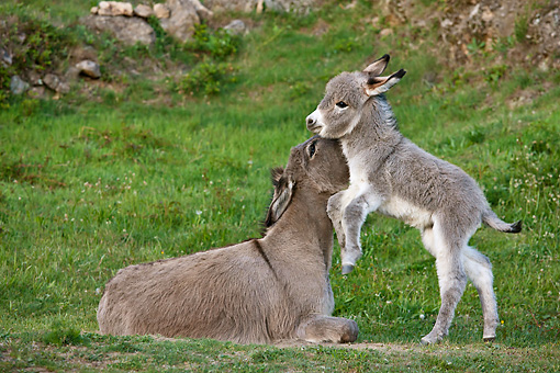 MAM 14 KH0377 01 © Kimball Stock Sardinian Donkey Foal Playing With Mother On Grass France