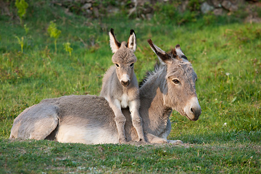 MAM 14 KH0378 01 © Kimball Stock Sardinian Donkey Foal Laying On Mother On Grass France