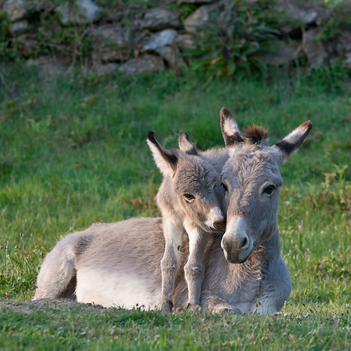 MAM 14 KH0379 01 © Kimball Stock Sardinian Donkey Foal Standing Over Mother On Grass France