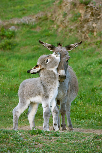 MAM 14 KH0380 01 © Kimball Stock Sardinian Donkey Foal Playing With Mother On Grass France