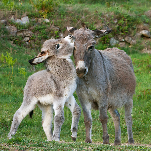 MAM 14 KH0381 01 © Kimball Stock Sardinian Donkey Foal Playing With Mother On Grass France