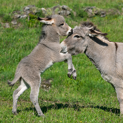 MAM 14 KH0382 01 © Kimball Stock Sardinian Donkey Foal Playing With Mother On Grass France