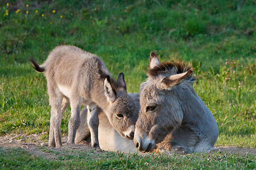 MAM 14 KH0383 01 © Kimball Stock Sardinian Donkey Foal Nuzzling Mother On Grass France