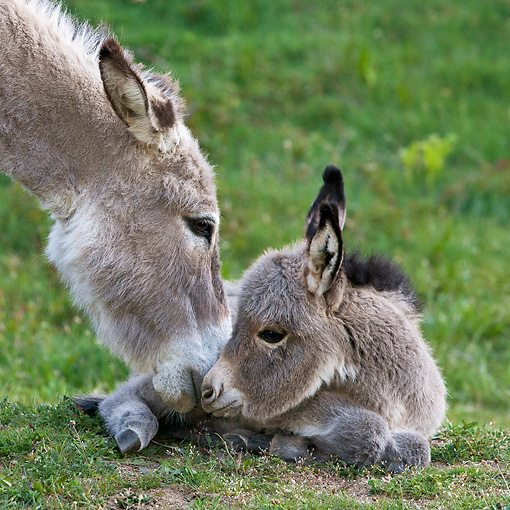 MAM 14 KH0384 01 © Kimball Stock Close-Up Of Sardinian Donkey Nuzzling Foal On Grass France
