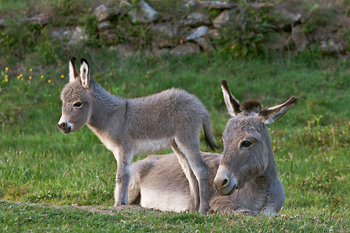 MAM 14 KH0386 01 © Kimball Stock Sardinian Donkey Foal Standing By Mother On Grass France