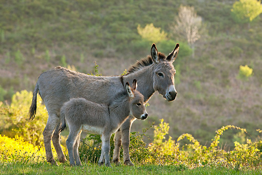 MAM 14 KH0387 01 © Kimball Stock Sardinian Donkey Foal Standing By Mother On Grassy Hill France