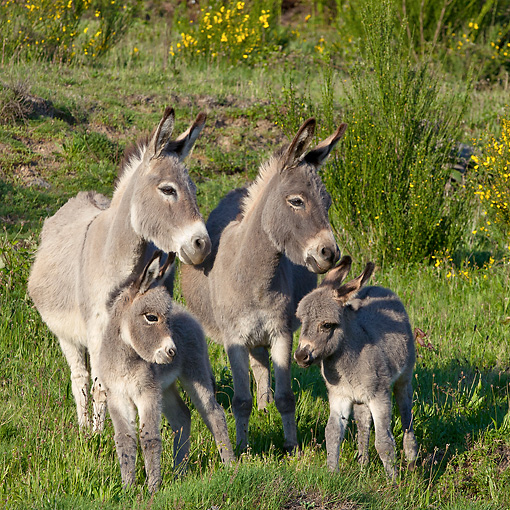 MAM 14 KH0388 01 © Kimball Stock Sardinian Donkeys Standing With Their Foals In Meadow France