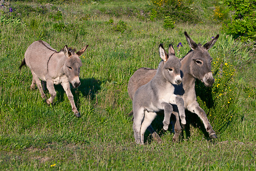 MAM 14 KH0389 01 © Kimball Stock Sardinian Donkeys And Foal Running In Meadow France