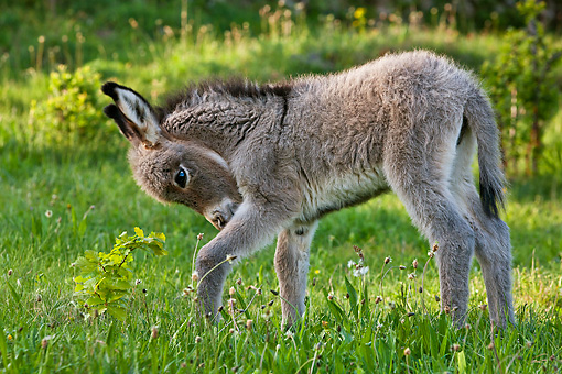 MAM 14 KH0390 01 © Kimball Stock Sardinian Donkey Foal Standing In Meadow France