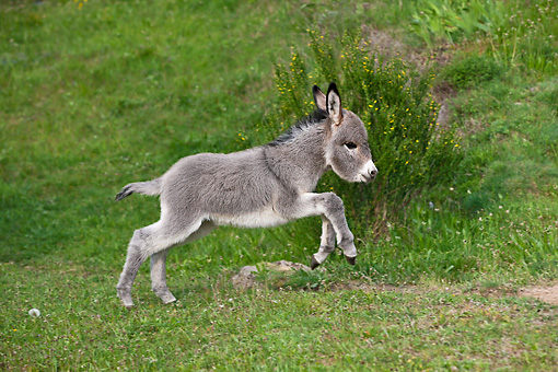 MAM 14 KH0391 01 © Kimball Stock Sardinian Donkey Foal Running Through Meadow France