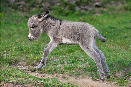 MAM 14 KH0392 01 © Kimball Stock Sardinian Donkey Foal Running Through Meadow France