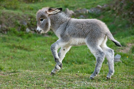 MAM 14 KH0393 01 © Kimball Stock Sardinian Donkey Foal Running Through Meadow France