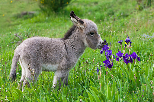 MAM 14 KH0394 01 © Kimball Stock Sardinian Donkey Foal Sniffing Blue Iris Flowers France