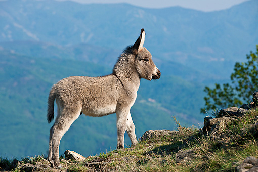 MAM 14 KH0395 01 © Kimball Stock Sardinian Donkey Foal Standing On Mountainside France