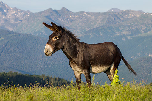 MAM 14 KH0396 01 © Kimball Stock Gascon Donkey Standing In Summer Pasture In Pyrenees, France