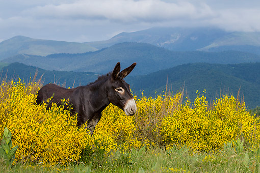 MAM 14 KH0397 01 © Kimball Stock Gascon Donkey Standing In Summer Pasture In Pyrenees, France